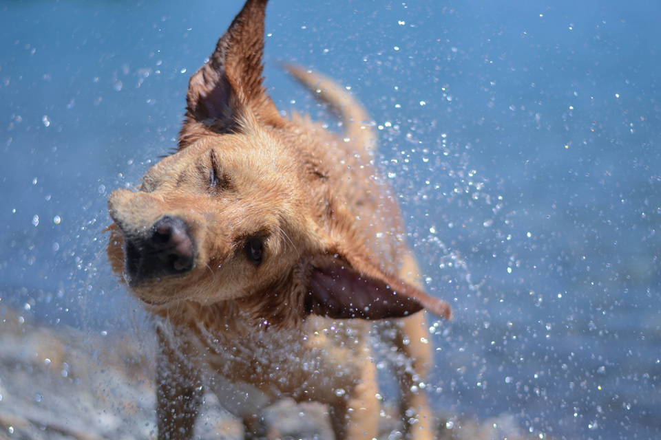 absolutely-cute-labrador-pictures-chelsea-tyrer-005