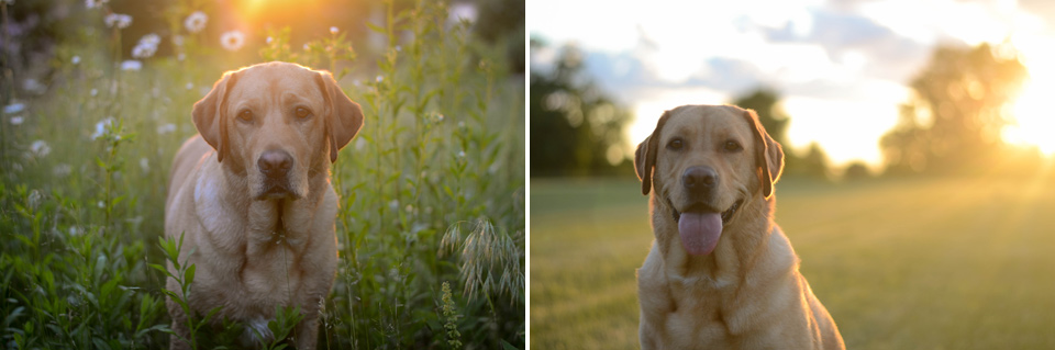 absolutely-cute-labrador-pictures-chelsea-tyrer-006