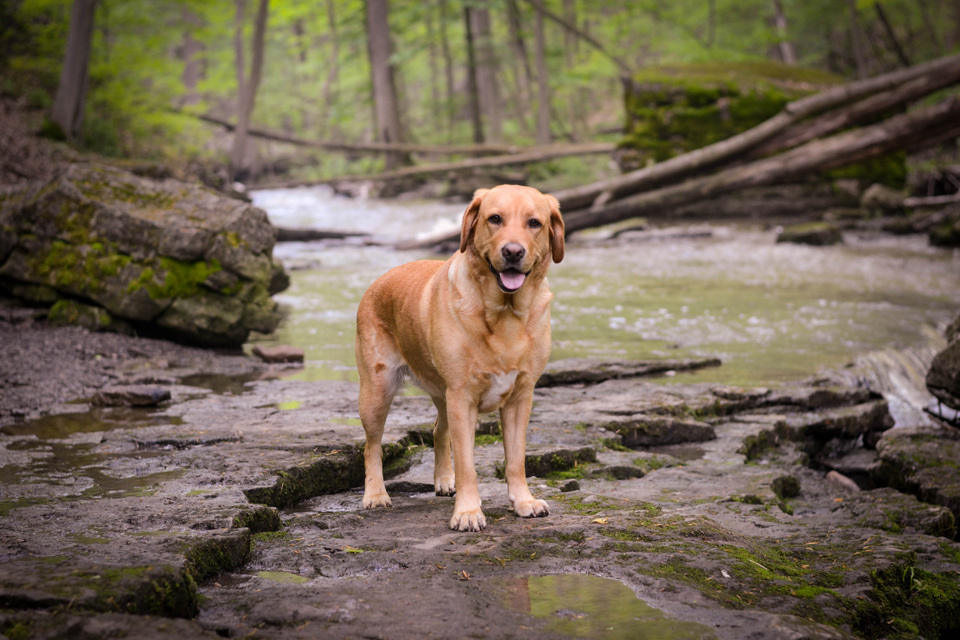 absolutely-cute-labrador-pictures-chelsea-tyrer-009