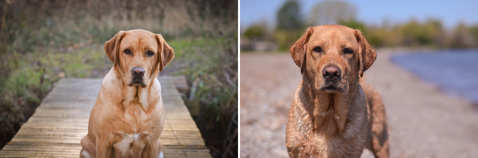 absolutely-cute-labrador-pictures-chelsea-tyrer-010