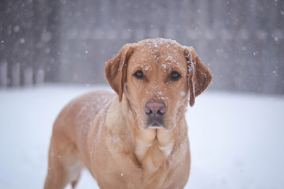 absolutely-cute-labrador-pictures-chelsea-tyrer-011