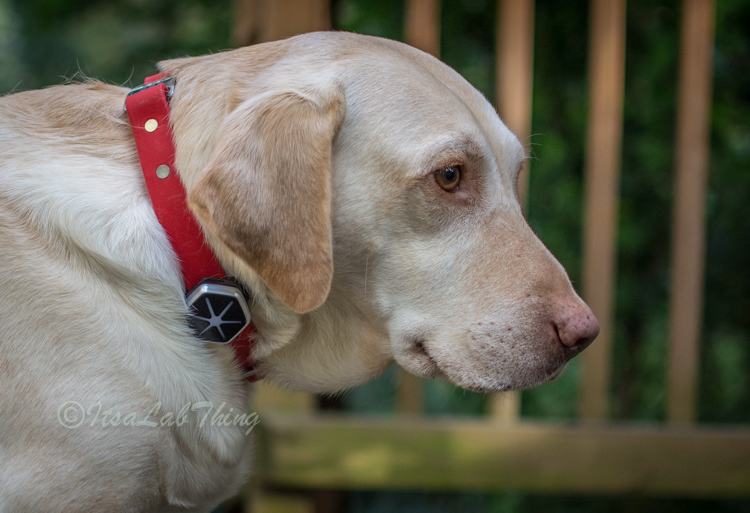 Starwalk Dog Activity  Tracker It's a Lab Thing Review-2