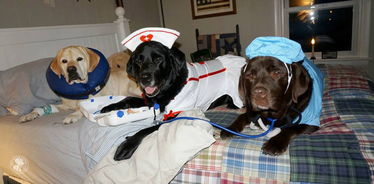 absolutely-cute-halloween-labradors-in-costumes-001