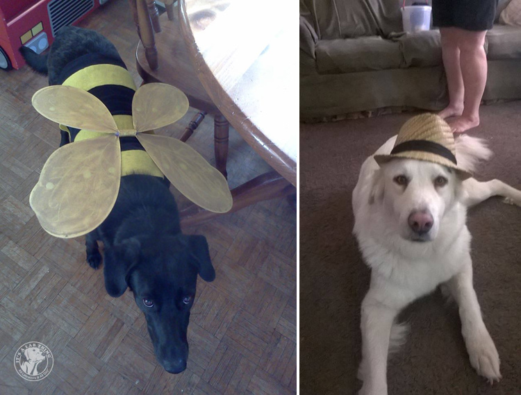 absolutely-cute-halloween-labradors-in-costumes-002