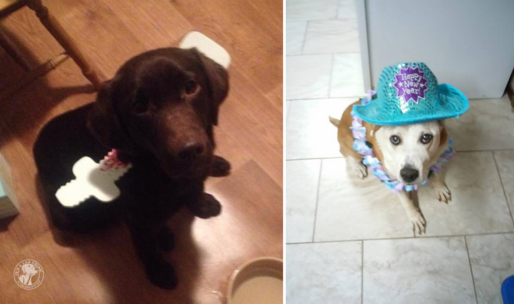 absolutely-cute-halloween-labradors-in-costumes-003
