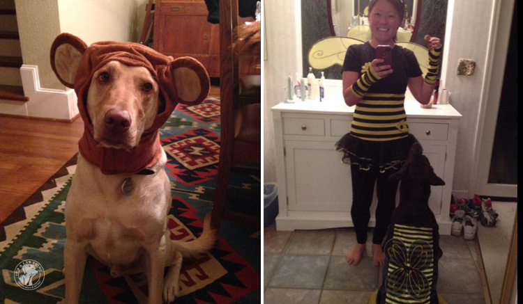 absolutely-cute-halloween-labradors-in-costumes-004