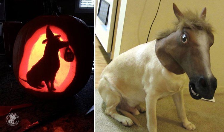 absolutely-cute-halloween-labradors-in-costumes-006