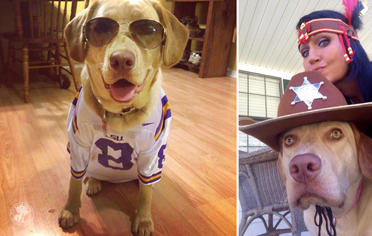 absolutely-cute-halloween-labradors-in-costumes-009