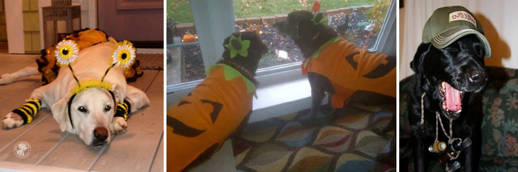 absolutely-cute-halloween-labradors-in-costumes-010