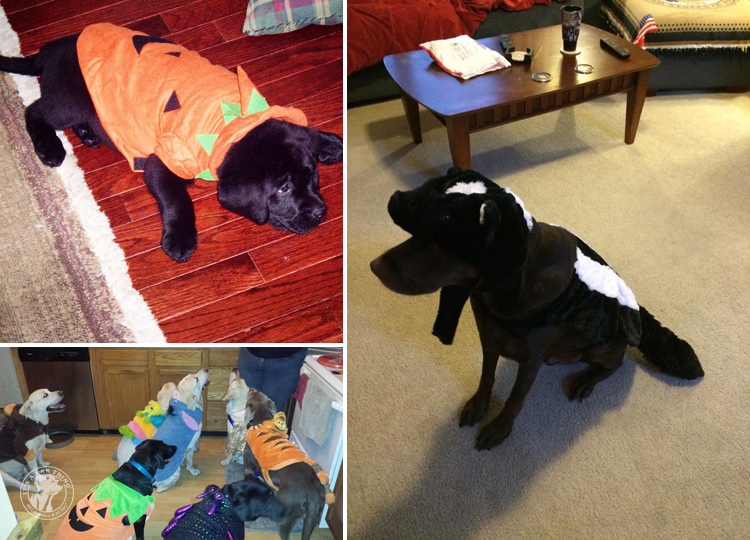 absolutely-cute-halloween-labradors-in-costumes-011