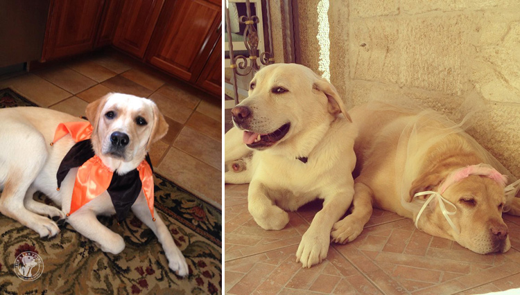 absolutely-cute-halloween-labradors-in-costumes-016
