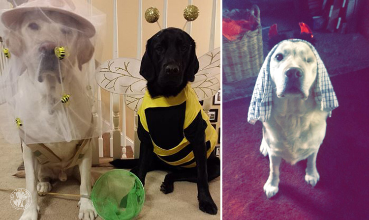 absolutely-cute-halloween-labradors-in-costumes-017