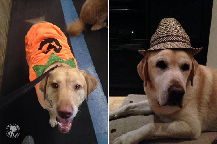 absolutely-cute-halloween-labradors-in-costumes-018