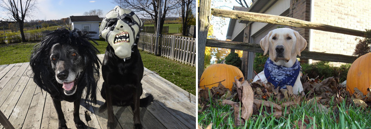 absolutely-cute-halloween-labradors-in-costumes-019