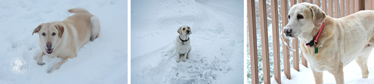 005-Winter_Play_Snow_blizzard_labrador_retrievers_