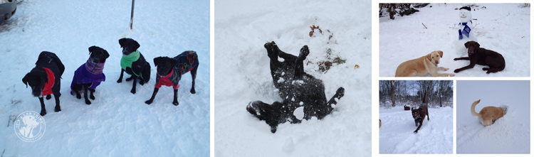 007-Winter_Play_Snow_blizzard_labrador_retrievers_