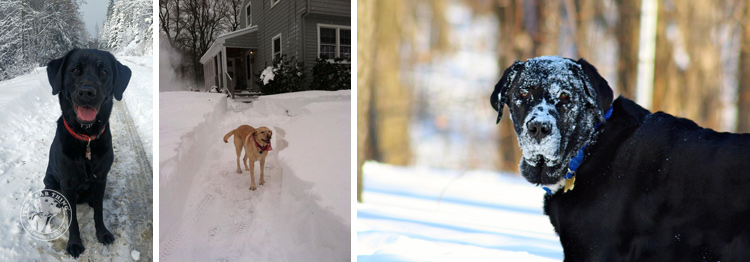 010-Winter_Play_Snow_blizzard_labrador_retrievers_
