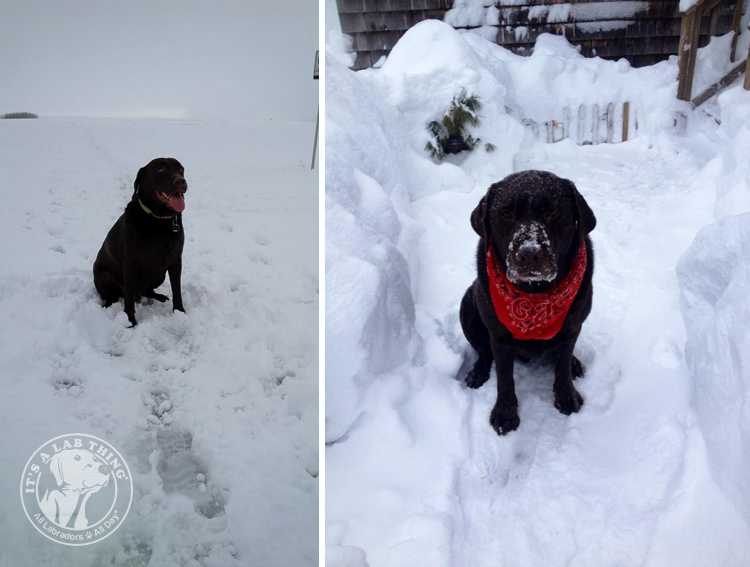011-Winter_Play_Snow_blizzard_labrador_retrievers_