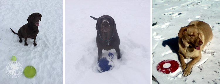 023-Winter_Play_Snow_blizzard_labrador_retrievers_