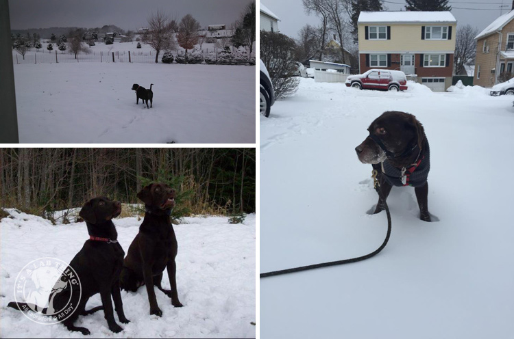 024-Winter_Play_Snow_blizzard_labrador_retrievers_