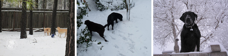 025-Winter_Play_Snow_blizzard_labrador_retrievers_