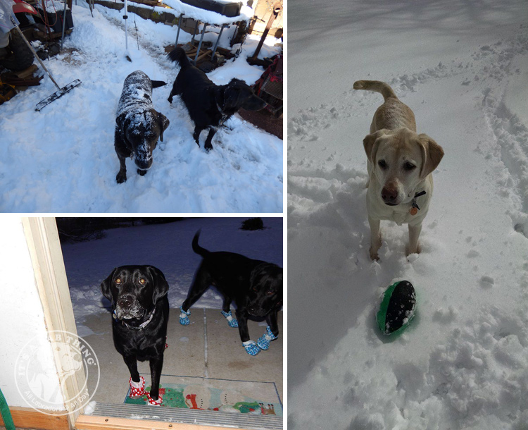 026-Winter_Play_Snow_blizzard_labrador_retrievers_