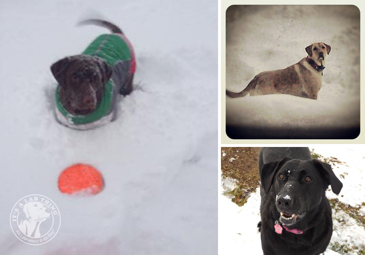 027-Winter_Play_Snow_blizzard_labrador_retrievers_