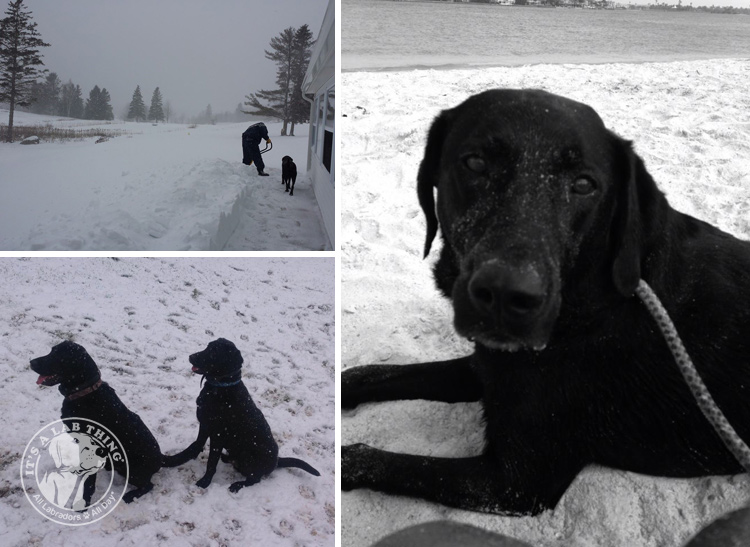 030-Winter_Play_Snow_blizzard_labrador_retrievers_