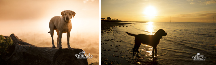 008-awesome-labrador-dog-photography-claire-norman-sunset-chevy-labs
