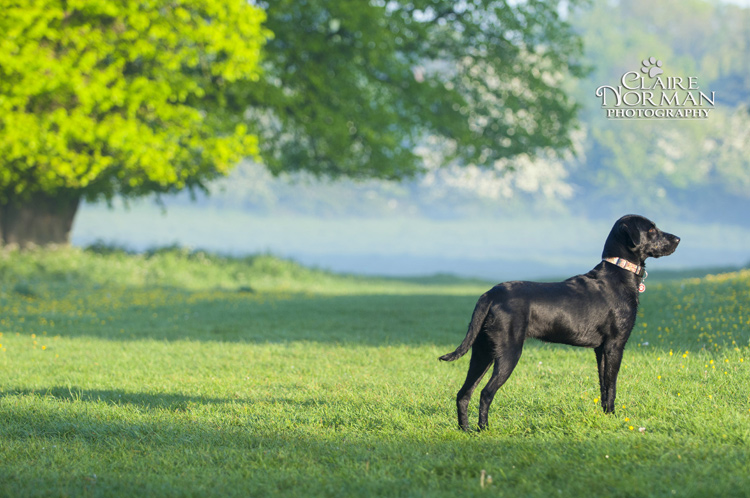 009-awesome-labrador-dog-photography-claire-norman-sunset-chevy-labs