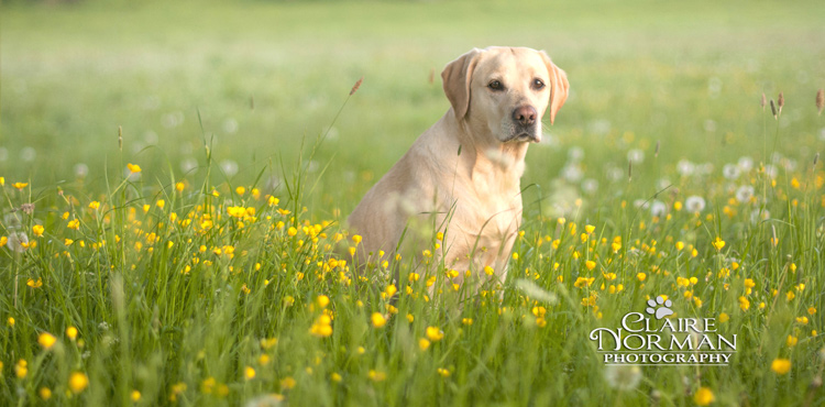 012-awesome-labrador-dog-photography-claire-norman-sunset-chevy-labs