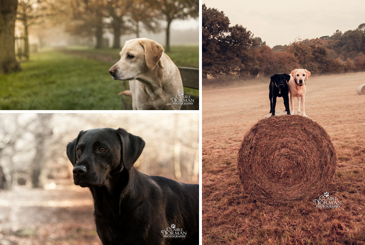 014-awesome-labrador-dog-photography-claire-norman-sunset-chevy-labs