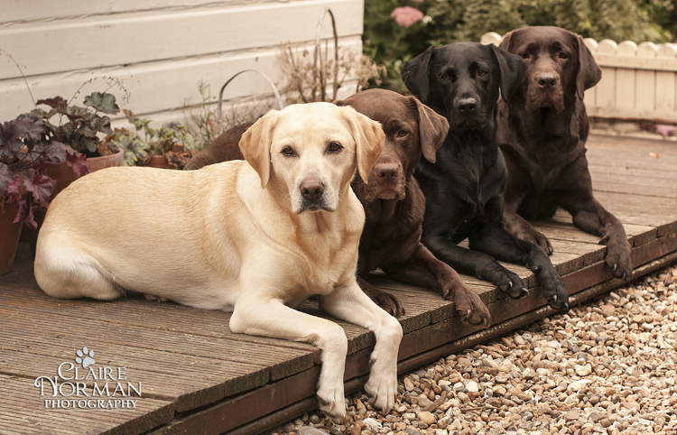 015-awesome-labrador-dog-photography-claire-norman-sunset-chevy-labs