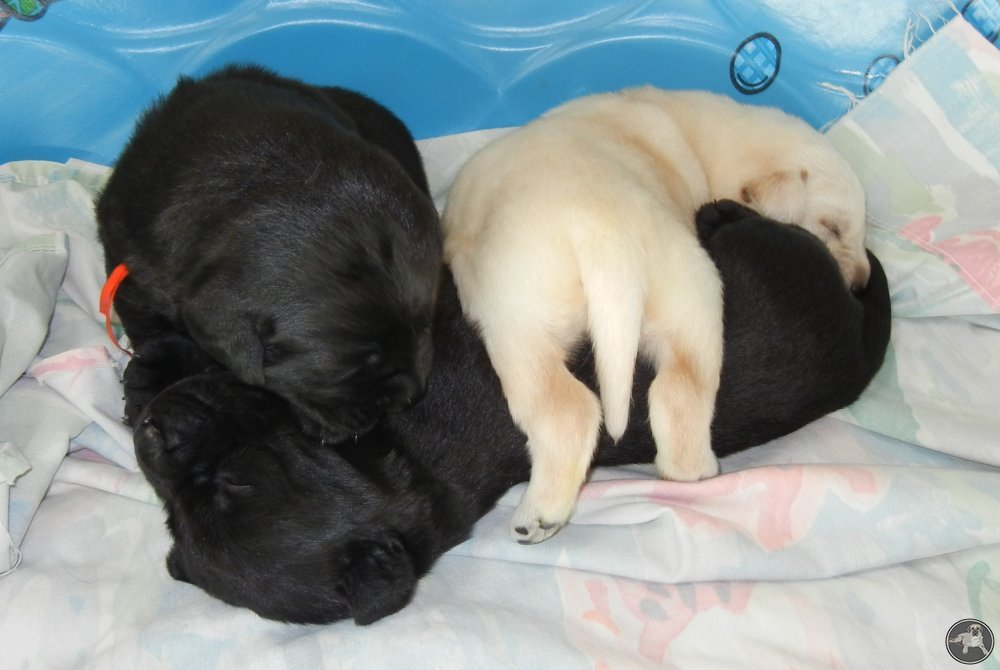 its-a-lab-thing-babies-labradors