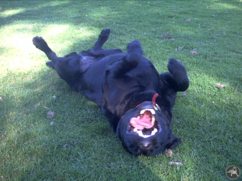 its-a-lab-thing-dylan-smile-labradors.jpg