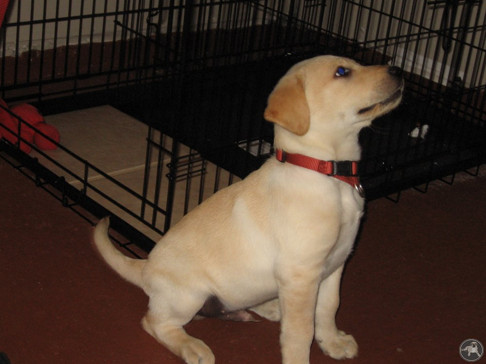 its-a-lab-thing-lab-puppy-crate-labrador