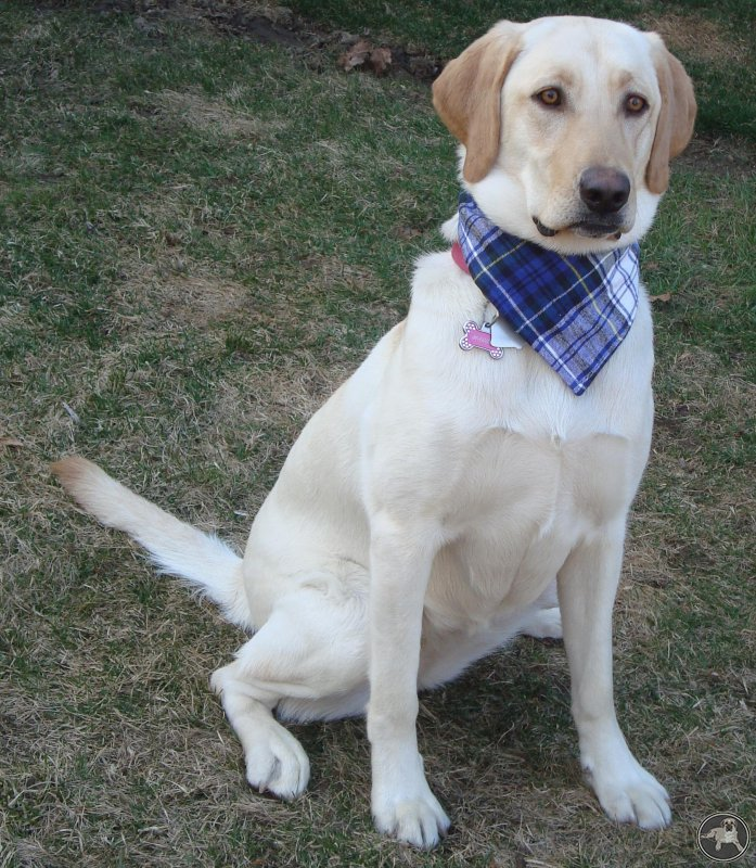 its-a-lab-thing-mags-labrador