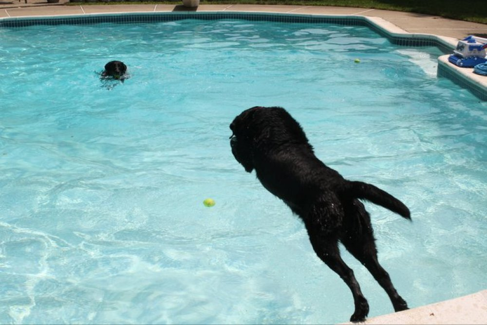 its-a-lab-thing-molly-diving-labrador