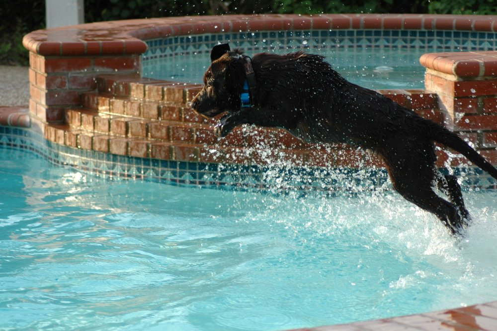 its-a-lab-thing-tobyjumppool-labradors