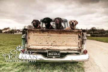 labradors in a classic chevy truck